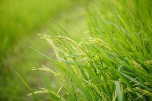 flores de arroz en el campo foto
