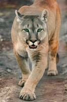 Cougar, a beautiful predator and a resident of the zoo, a dangerous animal. photo