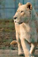 Rare and endangered species of white lions, zoo and animal life in it. photo