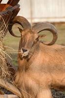 Maned ram eats hay, an animal in the zoo. photo