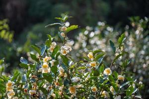 los árboles de té en el jardín de té están en plena floración foto