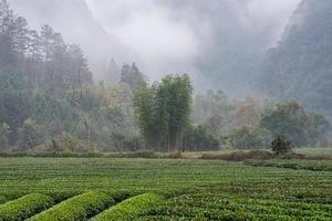 Tea mountain and forest in morning fog photo