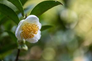 Under the sun, Tea flowers with white petals and yellow flower cores are in the wild tea forest photo