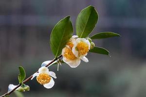 Tea tree flowers in the rain, petals with raindrops photo