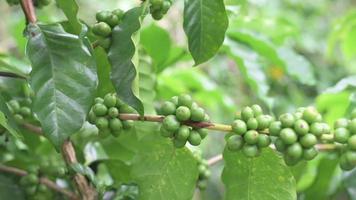 grãos de café na planta. video