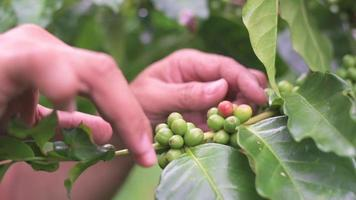 os jardineiros cuidam dos grãos de café da planta. video