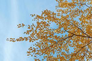 Branch with yellow birch leaves against the blue sky. photo
