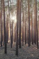 Pine forest in the rays of the setting sun. photo