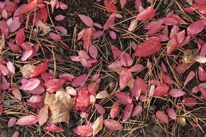 Autumn background with fallen red leaves and pine needles. photo