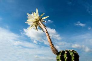 White color with fluffy hairy of Cactus flower and blue sky background photo