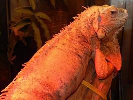 Iguana living in a terrarium and illuminated with a quartz lamp photo
