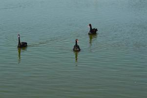 Black swans swim in the water on the lake photo