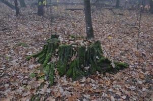 Forest stumps in green moss in the morning photo