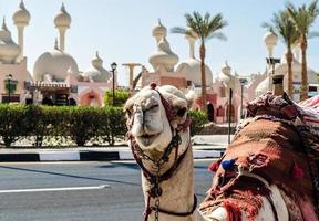 A riding camel in a bright blanket on the sunny street of Sharm El Sheikh photo