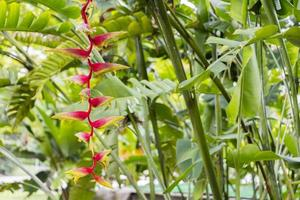 Beautiful big red yellow heliconia flower from tropical nature, Malaysia. photo
