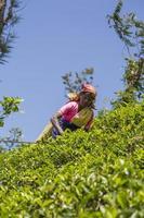nuwara, sri lanka, 26 de enero de 2014 - mujer no identificada que trabaja en la plantación de té en nuwara, sri lanka. Sri Lanka es el cuarto productor mundial de té. foto
