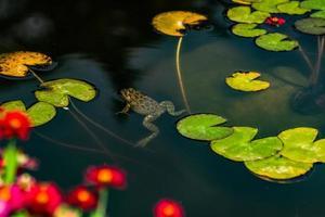 rana gorda en el estanque foto