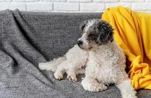 Cute bichon frise dog laying on the sofa at home with copy space photo