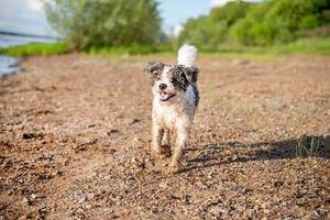 Cute adorable Bichon Frise dog walking by the water photo