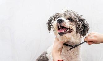cute white and black bichon frise dog being groomed by professional groomer photo