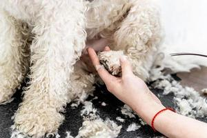 bichon frise dog paw hair being groomed by professional groomer photo