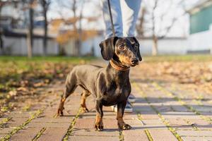 Dachshund dog outdoors standing in the park photo