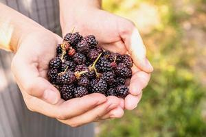 Farmer hands with freshly harvested blackberries on nature background photo