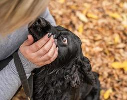 Black Cocker Spaniel looking at the owner face outdoors photo