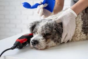 Tired bichon frise dog being groomed by the woman hand in gloves at home photo