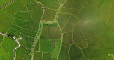 aerial view birds eyes view shot on a rice field. Rice farm Map 4K DCI video
