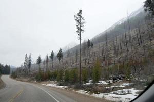 bosque de pinos canadienses creciendo de nuevo después de un incendio. árboles muertos y nuevos. alberta. foto