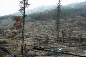 Landscape of a forest area after a fire, dead trees. Mountain with snow in the background. Alberta, Canada photo