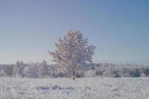 Young pine in the meadow after the first snow. photo