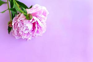 Purpure peony flowers on pink wooden background. Top view. photo
