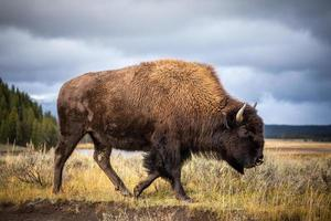 American bison walking and looking for food in Yellowstone National Park. photo