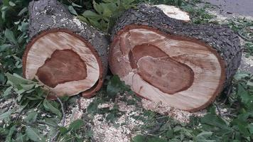 A large trunk of a fallen tree is cut into stumps photo