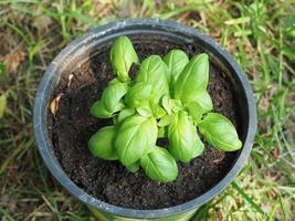 basil Basilicum plant in a pot photo