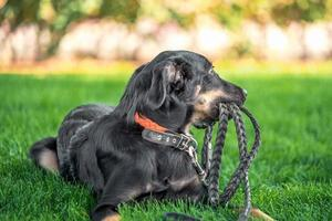 mongrel puppy gnaws a leather leash on a walk in the park photo