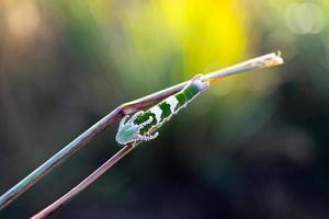 Close focus on polyura delphis caterpillar hanging on branch. photo