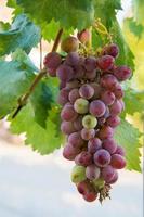 Deliciosas uvas rojas todavía en el árbol con hojas verdes como fondo foto