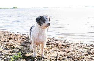Cute Bichon Frise dog walking by the water photo