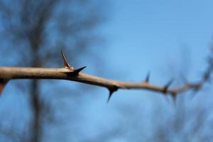 Branch with acacia needles photo