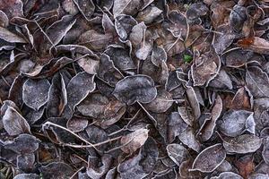 hojas marrones caídas cubiertas de nieve y escarcha. foto
