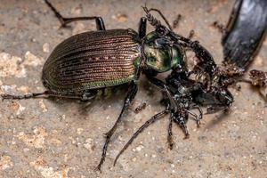 Adult Caterpillar hunter Beetle photo