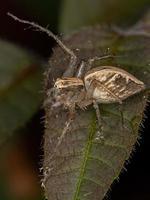 Striped Lynx Spider photo