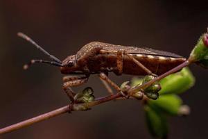 Adult True Bug photo