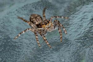 Small Male Gray Wall Jumping Spider photo