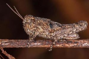 Short-horned Grasshopper Nymph photo