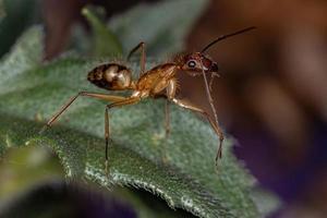 Adult Female Carpenter Ant photo