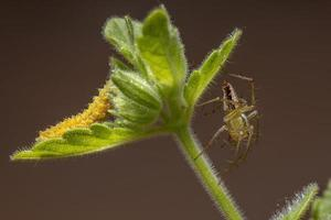 Striped Lynx Spider and a Flea Beetle Larvae photo